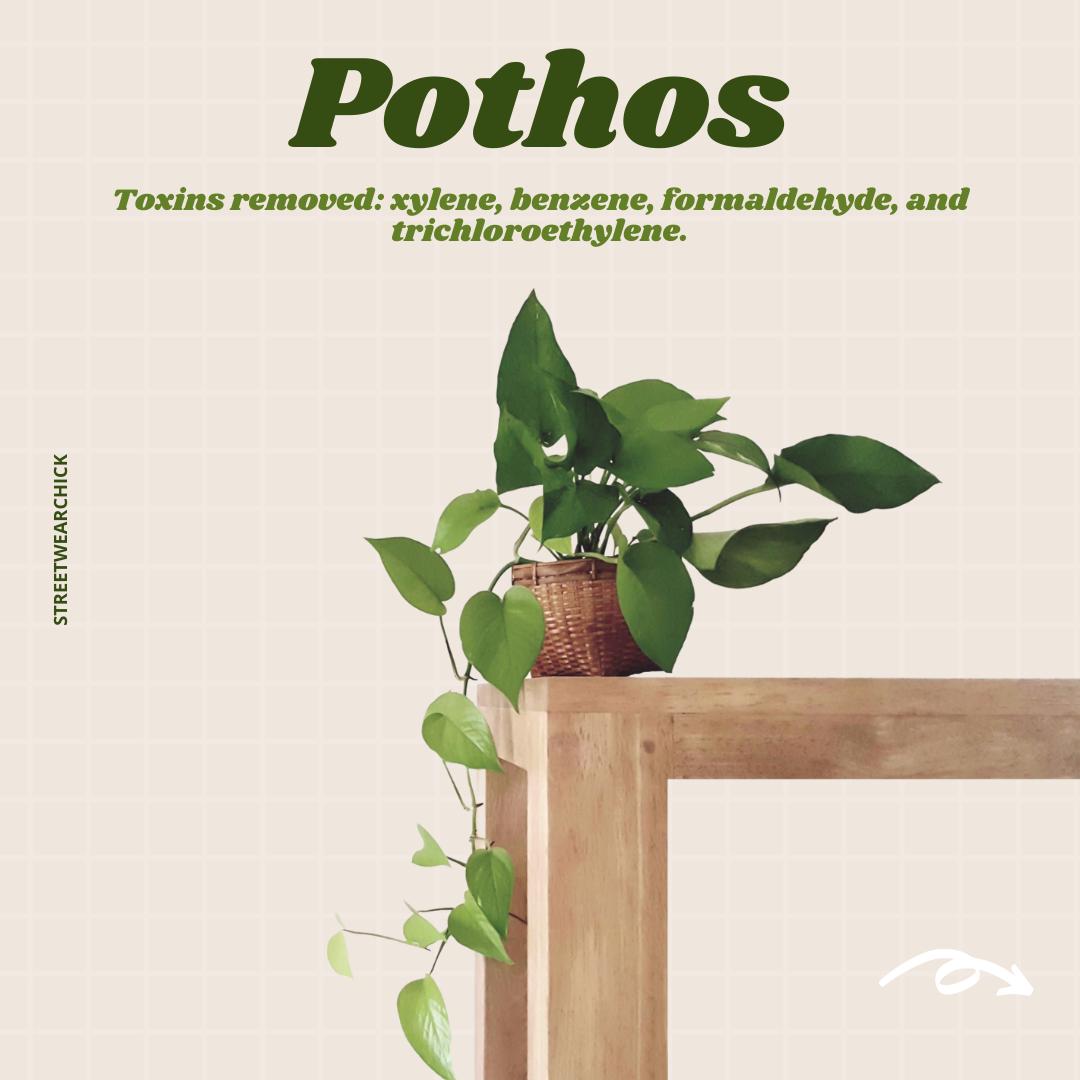 air purifying houseplants Pothos