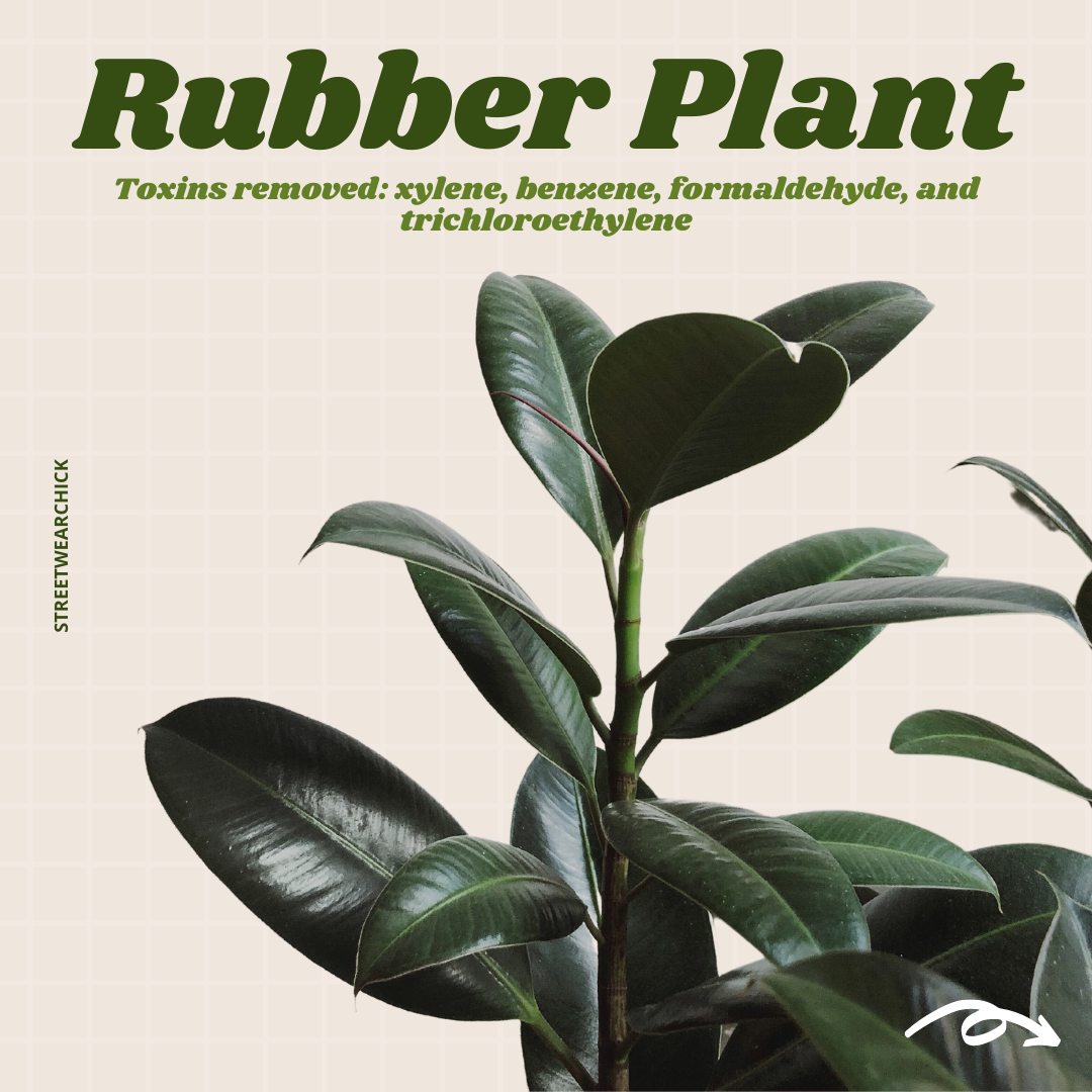 air purifying houseplants Rubber Plant