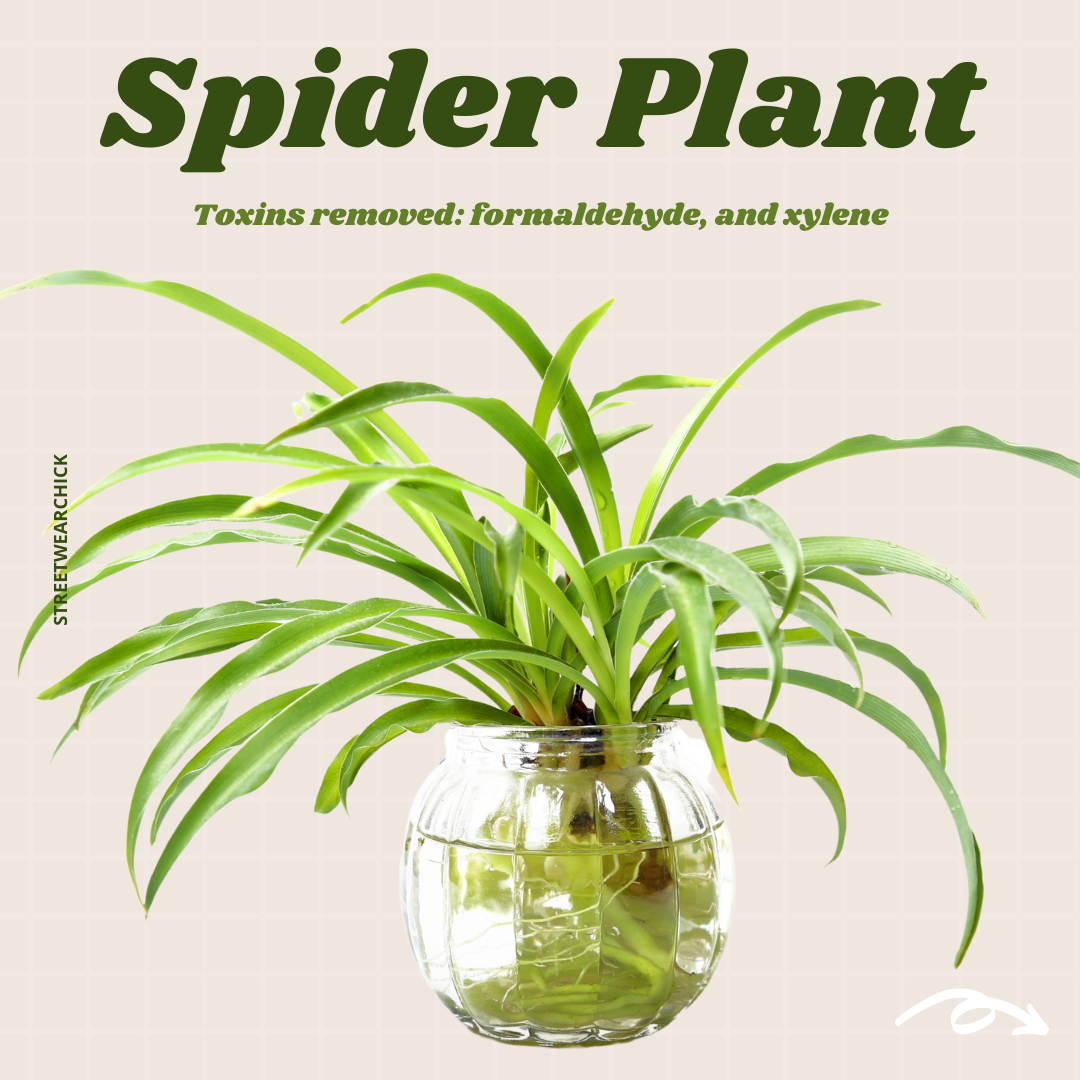 air purifying houseplants Spider Plant