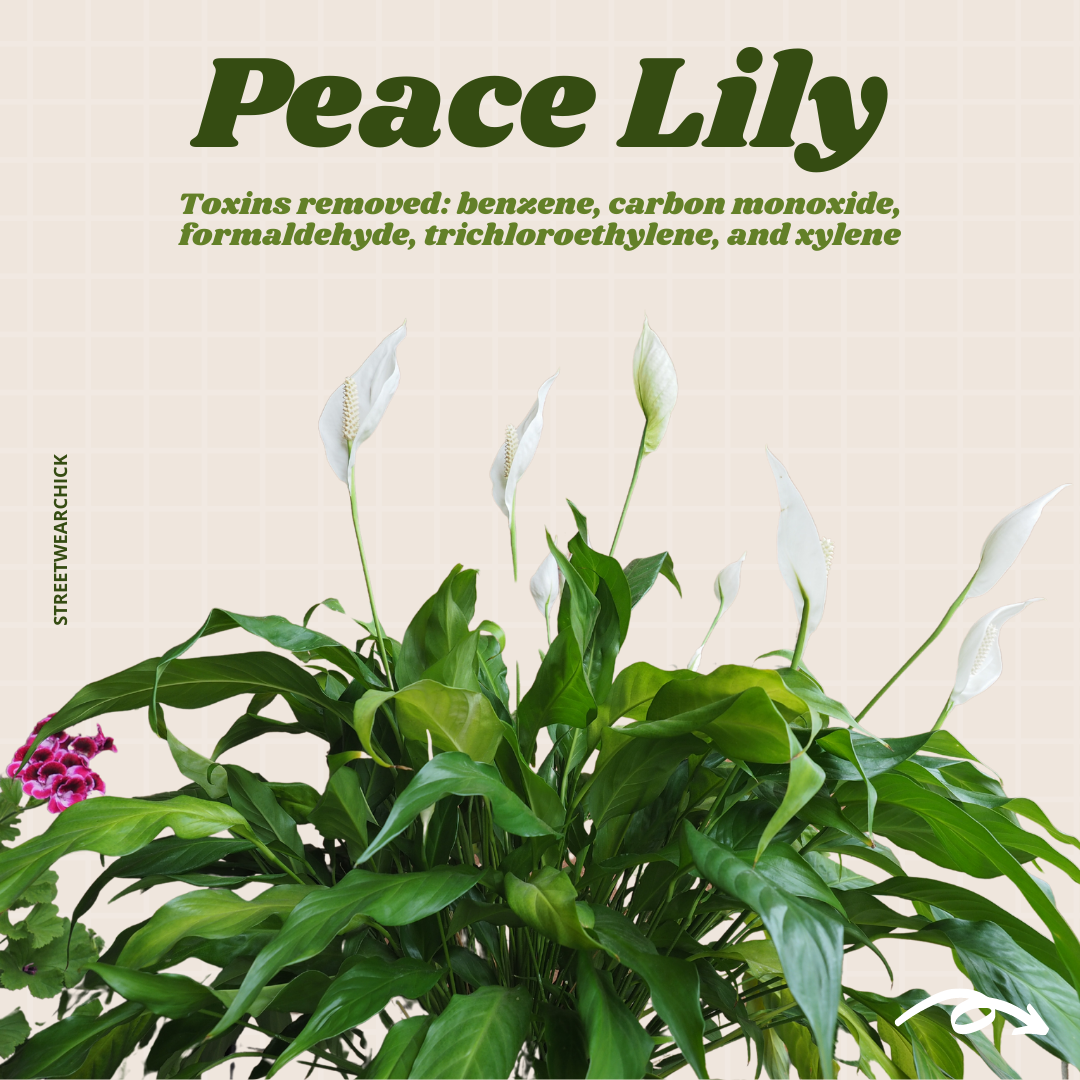 air purifying houseplants Peace Lily